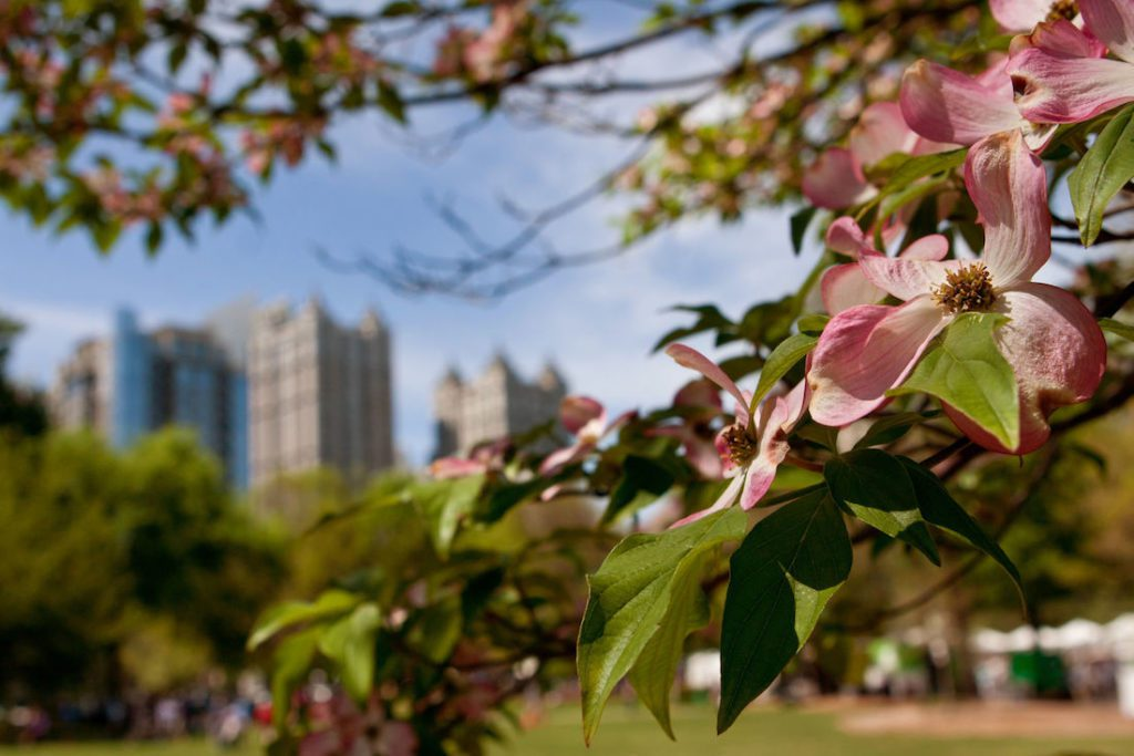 Dogwood trees in bloom in Atlanta
